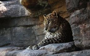Картинка леопард, кошка, хищник, отдых, скалы