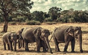 Картинка слоны, семейство, Шри-Ланка, национальный парк Миннерия