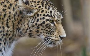 Картинка кошка, леопард, профиль, персидский, ©Tambako The Jaguar
