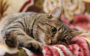 Обои кошка, кот, полосатый