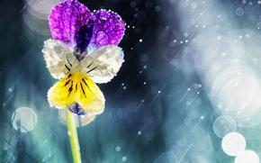 Картинка цветок, солнце, капли, дождь, анютины глазки, боке, виола