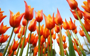 Картинка небо, лепестки, стебель, тюльпаны