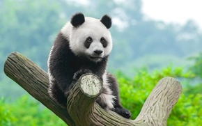 Картинка Панда, Ствол, Детеныш, Животные