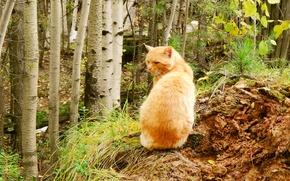Картинка осень, лес, Лис, хищник, Кот, мужчина, охота, охотник