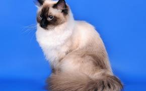 Обои кошка, сибирская кошка, колор-пойнт, Невская маскарадная