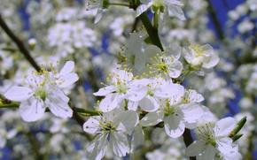 Картинка белый, макро, цветы, синий, вишня, жёлтый, фон, тень, ветка, весна, лепестки, май, тычинки, белые, цветочки, …