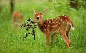 Обои лето, природа, олень