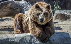 Картинка взгляд, морда, камни, шерсть, медведь, зоопарк