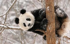 Обои зима, снег, Панда, медведь