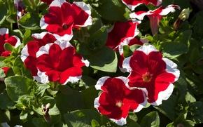 Картинка красные, цветение, петунии