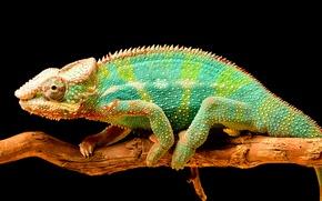 Картинка хамелеон, цвет, ветка, хвост, пресмыкающееся