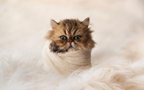 Картинка взгляд, мордочка, котёнок, шаль