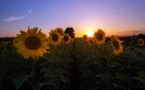 Картинка поле, подсолнухи, утро