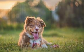 Картинка язык, собака, щенок, Австралийская овчарка, Аусси