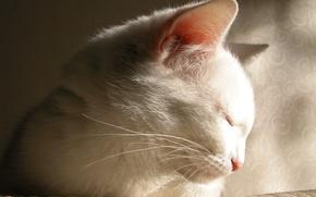 Обои прелесть, белый, засыпает, кот