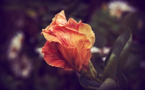 Картинка цветок, лепестки, увядание