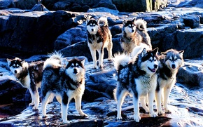 Картинка порода, хаски, собаки, Huskies