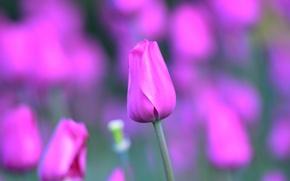 Обои макро, тюльпан, стебель, лепестки