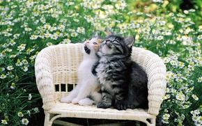 Обои кошка, двое, цветы, cat, киса, котенок, котэ, киска, стул, кот