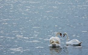 Картинка пара, лебеди, птицы, вода