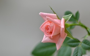 Картинка розовая, роза, ветка, бутон, цветение