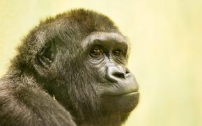 Обои взгляд, природа, обезьяна, Gorilla