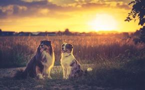 Картинка field, sunset, sundown, dogs, australian shepherd, soulmates