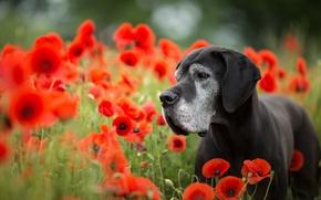 Картинка цветы, маки, собака