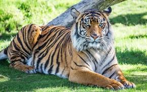 Картинка тигр, отдых, хищник