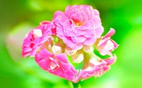 Обои макро, розовый, зелёный, Каланхоэ