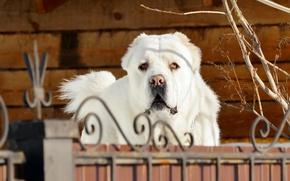 Обои морда, ветки, стена, забор, портрет, собака, грустный взгляд, белая, красавец, пёс