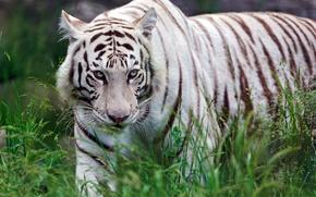 Картинка трава, хищник, белый тигр