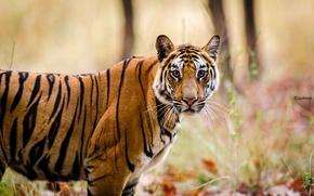 Картинка морда, полоски, хищник, дикая кошка, бенгальский тигр