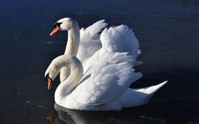 Обои на рабочий стол с лебедями
