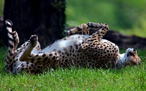 Обои трава, хищник, спит, гепард, солнечно, дикая, лежа, на спине