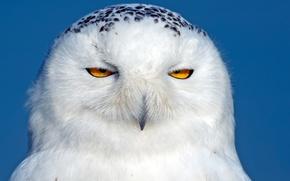 Картинка белая сова, полярная сова, птица