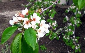 Картинка пейзаж, цветы, дерево, красота, абрикос