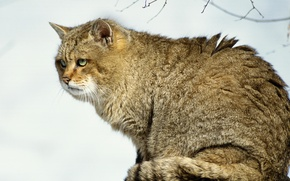 Картинка хищник, snow, снег, cat, predator, wood, лес, кот