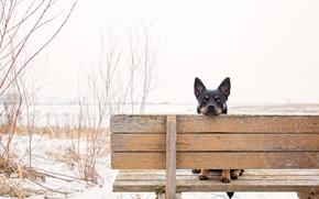 Картинка взгляд, уши, скамья, пёс