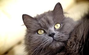 Картинка кошка, глаза, кот, взгляд, желтые, серая, пушистая