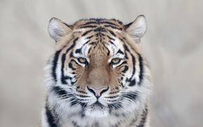 Обои кошка, взгляд, тигр, очарование