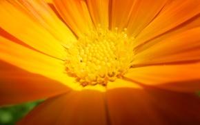 Картинка цветок, желтый, красивый, крупным планом.
