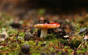 Картинка лес, фон, гриб, травка