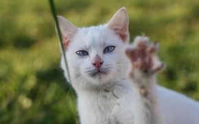 Картинка зелень, белый, кот, лапа, травинка