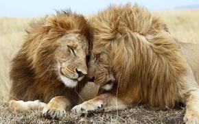 Обои любовь, лев, львица