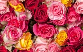 Картинка розы, бутоны, много