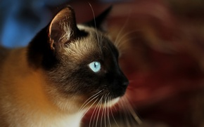 Картинка кошка, взгляд, морда, Сиамский кот