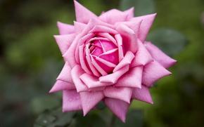 Картинка макро, фон, роза, лепестки