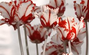 Картинка белый, цветы, красный, весна, тюльпаны