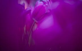 Обои тюльпаны, сиренево-розовые, тюльпан